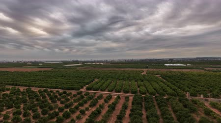 zęby : Aerial view time lapse of orange tree field
