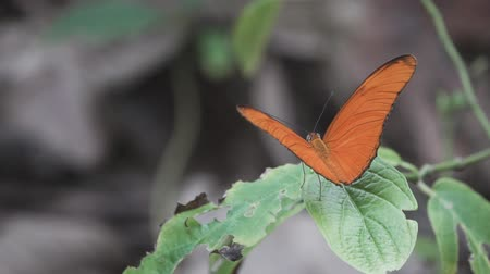 szárny : Orange butterfly opens wings and starts flying in slow-motion