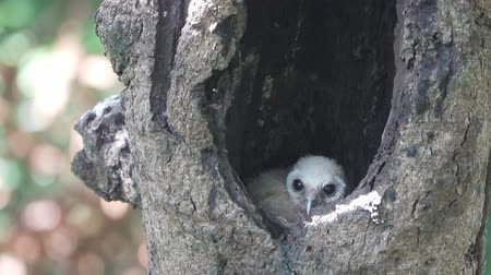 sowa : Bird spotted chick owl inside nest in tree hole