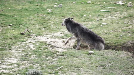 elusive : Canadian wolf going up in the ground