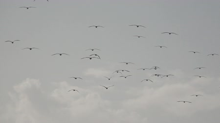 emigranti : Rear view of birds flying in super slow motion