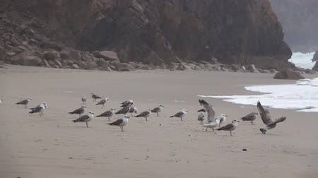 being fired : Seagulls fighting in the sand while raining in slow-mo Stock Footage