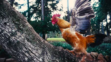 fiatal kis kakas : Cockerel ascending tree trunk in super slow motion