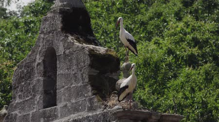 perching : Two storks over belfry start flying at the same time