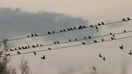 starling : Flock of starling birds left power cable at dusk