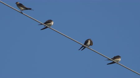 oneself : 4 Swallows cleaning over high-voltage cable Stock Footage