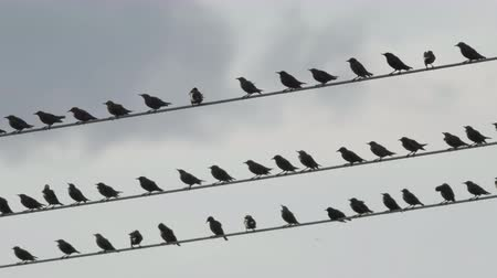 szpak : Flock of starling birds over high-volgate cable at dusk Wideo