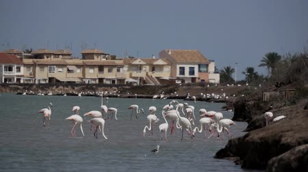 малая глубина резкости : Large group of flamingos near the city Стоковые видеозаписи