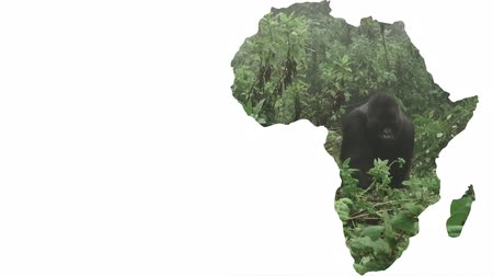 encadré : Africa continent shape with silver back gorilla approaching