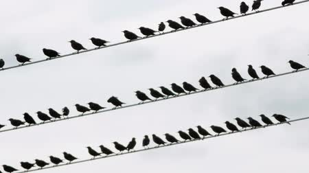 szpak : Flock of starling birds over high-volgate cable and shallow depth of field
