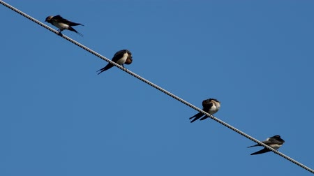 preciso : Four swallows over high power cable cleaning themselves