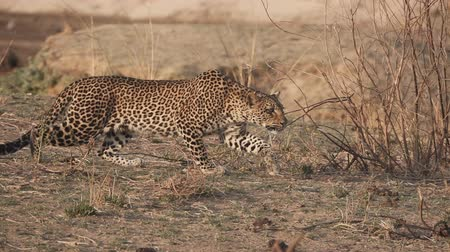 zambia : Spectacular Leopard in super slow motion