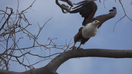 diurnal : African Fish-Eagle, haliaeetus vocifer starts flying in super slow motion Stock Footage