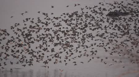 zambia : Redbilled Quelea, Quelea quelea large group flying in super slow motion