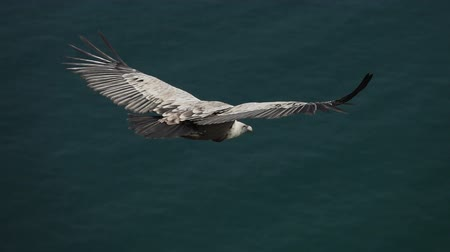 vulture : Top view of vulture against ocean flying in slow-mo