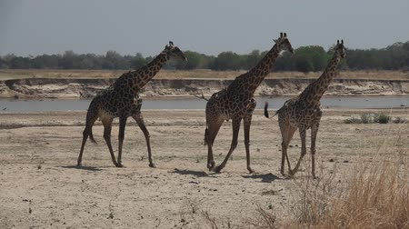 zambia : Three giraffes walking in super slow motion