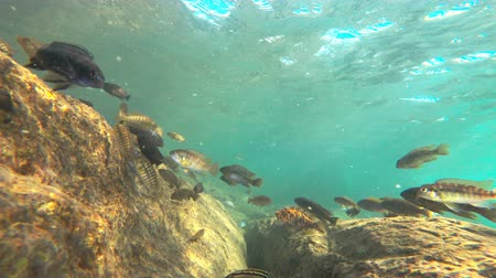 malawi : Colorful fishes in lake malawi, static camera