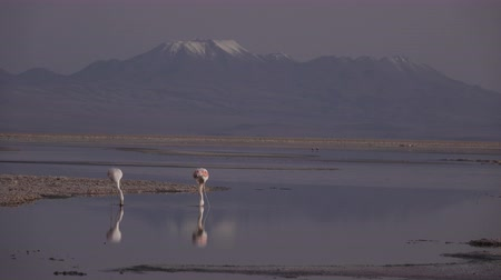 tükrözött : Sunset falling and flamingoes over Atacama salar and Chaxa lagoon