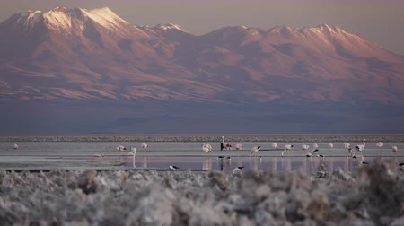 salt lagoon : Sunset falling and flamingoes flapping over Atacama salar and Chaxa lagoon Stock Footage