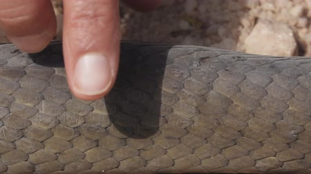 sentido : Dendroaspis polylepis, touching black mamba skin on the ground Vídeos