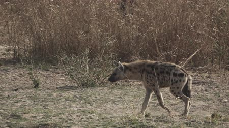 entire : Hyena walking in super slow motion in the wild