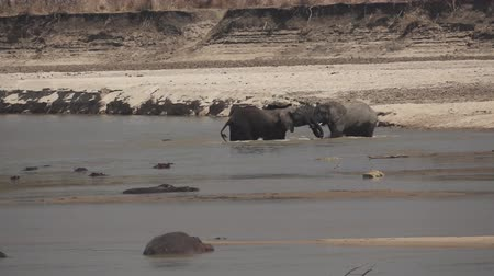 zambia : Two male elephants fighting in the river in slow-mo Stock Footage