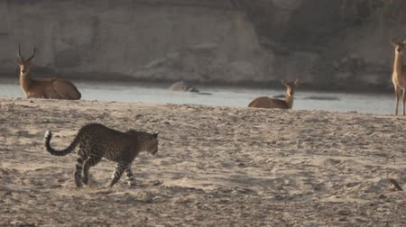 indifference : Spectacular view of leopard walking over the sand near Puku Stock Footage