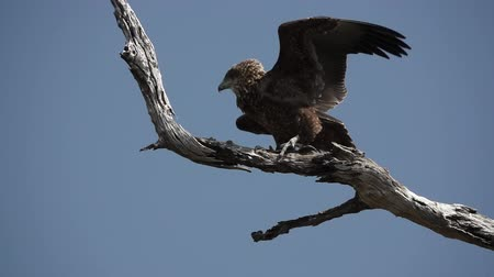 turning off : Bateleur eagle starts flying in slow-mo, Terathopius ecaudatus,