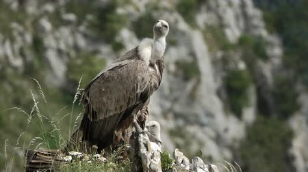 vulture : Vulture turns head to the right in slow-mo Stock Footage