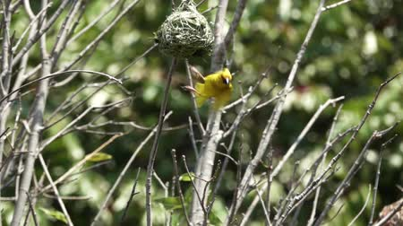 jump away : Ploceidae bird flying jumping out of the nest in super slow motion