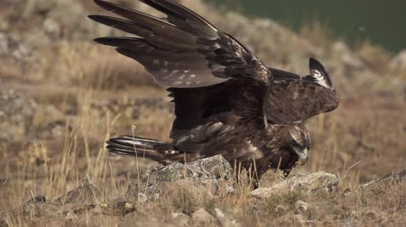 perching : Aquila chrysaetos male gathering wings on the ground Stock Footage