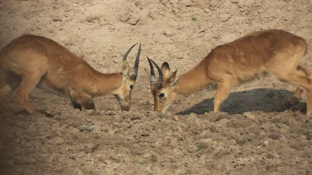 won : Profile view of male Puku antelopes fighting in slow-mo Stock Footage