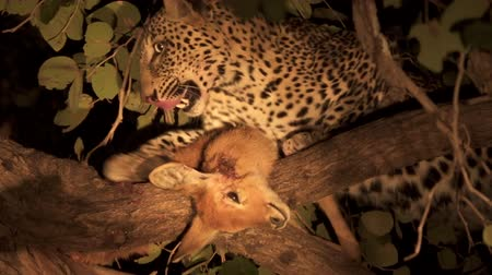 Leopard over the tree licks puku injury and abandons it