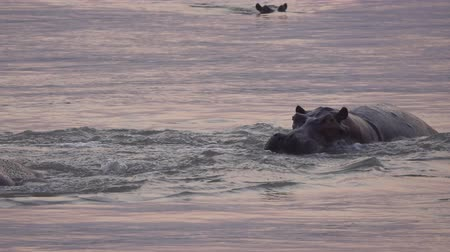 údiv : Hippos fighting in the middle of the river