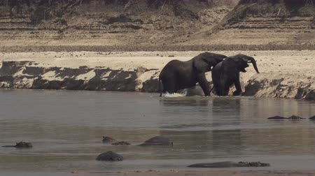 Male elephants fighting very hard in the river