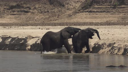 엄니 : Male elephants fighting in the river shore