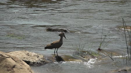 presa : Hamerkop prepared for fishing while crocodile emerges Vídeos