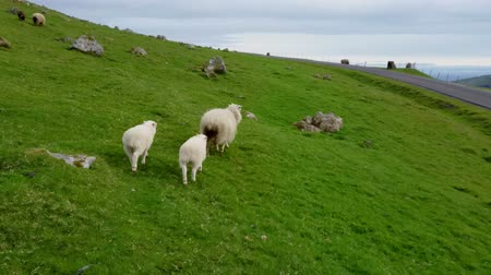 distraído : Following sheep with two baby sheep in the hillside