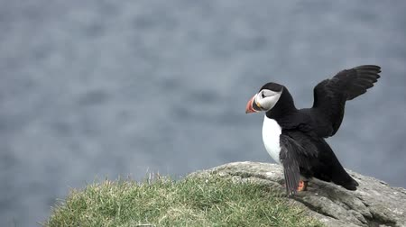 význam : Profile view of single puffin shaking wings in slow-mo