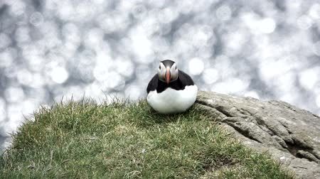 Isolated puffin looking at the camera in slow-mo