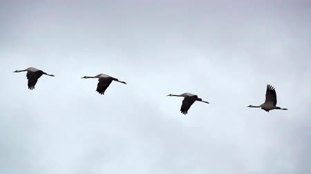 texto : Four cranes flying in super slow motion Vídeos