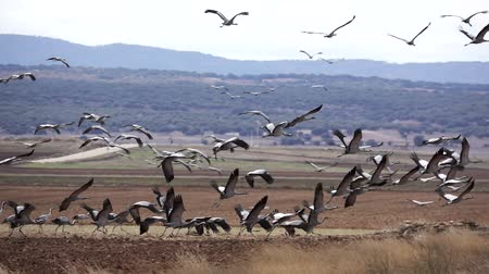 Many cranes taking off in super slow motion