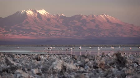 Spectacular view of salt lake with flamingoes and volcano Стоковые видеозаписи