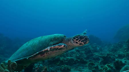 Hawksbill Turtle swimming on a coral reef in Philippines Stock Footage