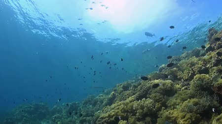 soldierfish : Coral reef with soft corals, shark and trevallies. Filmed upwards