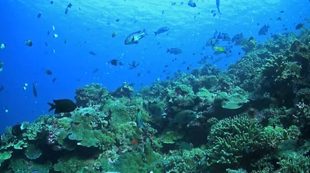 soldierfish : Coral reef with plenty of fish. Sweetlips, snapper, banner fish, butterfly fish and many more. Stock Footage