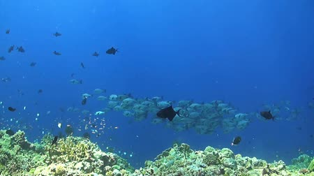 soldierfish : Coral reef with a school black snapper, triggerfish, Anthias and Butterflyfish Stock Footage
