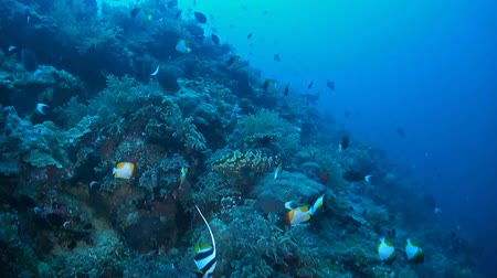 soldierfish : Steep slope of a coral reef with surgeonfish, butterflyfish, grouper and triggerfish