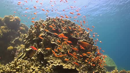 soldierfish : Coral reef with Anthias