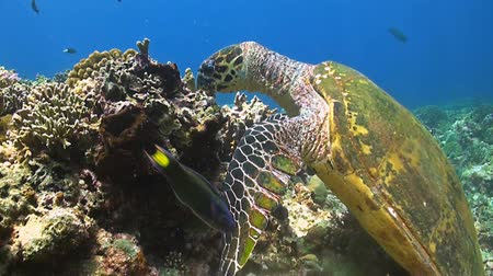underwater scenes : Hawksbill Turtle on a coral reef When eating
